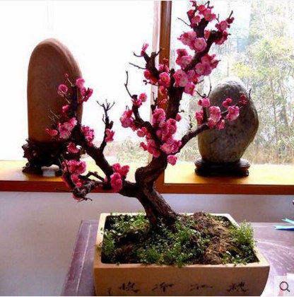 春冬腊梅花树苗盆景树桩庭院花卉植物素心腊绿白梅花