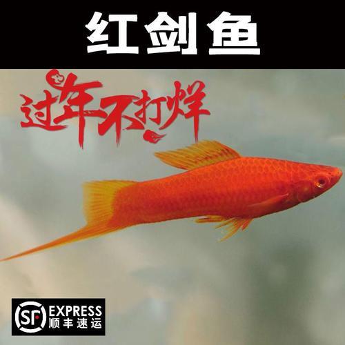 高鳍红剑鱼菊花帆红剑狼牙帆红箭鱼活体热带观赏鱼苗种鱼刀公