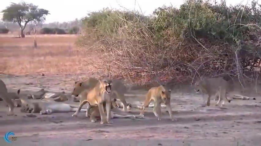 动物世界大象从狮子口中拯救水牛