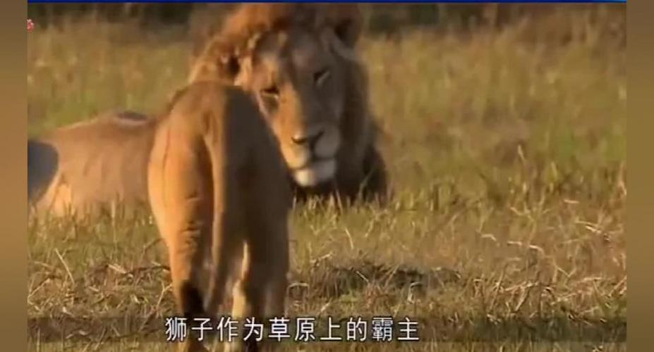 壁纸动物狮子桌面960518